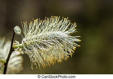 bourgeons, floraison, printemps, saule, finlande, -, salix,...