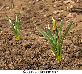 bourgeons, jaune, jonquilles, fleur, printemps