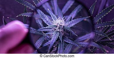 bourgeons, monde médical, croissant, fleurir, cannabis, 2019, indoor., marihuana