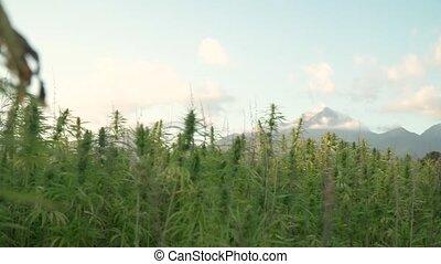 bourgeons, narcotique, pousse feuilles, croissant, sous, vidéo, plantation, foyer, montagnes, décalage, dehors, résolution, soleil, médicinal, field., 4k, cannabis, chanvre, back.