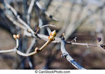 bourgeons, printemps