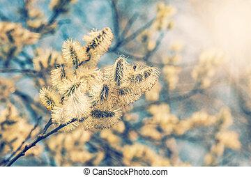 bourgeons, saule, branches, caprea), (salix