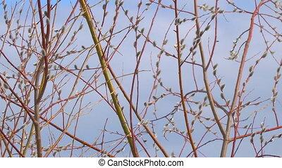 bourgeons, saule, pelucheux, branches, chat