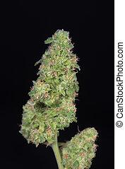 bourgeons, taillé, sur, strain), -, marijuana, isolé, cannabis, arrière-plan noir, fissure, (green
