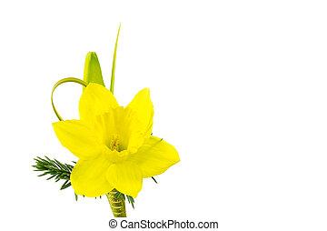 Daffodil boutonniere for special occasion such as for best man or groom in spring wedding. Isolated on white.