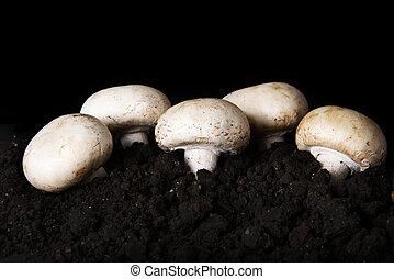 bouton, champignon comestible