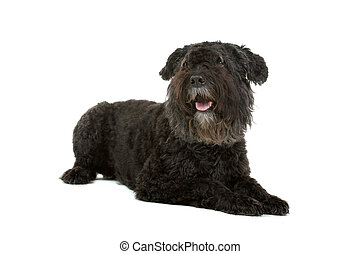 Frond view of a Bouvier des flandres lying on the floor and with the tongue out, isolated on a white background