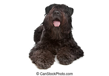 Bouvier des Flandres in front of a white background