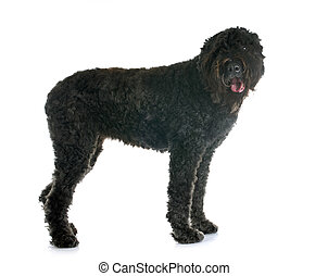 Bouvier des Flandres in front of white background