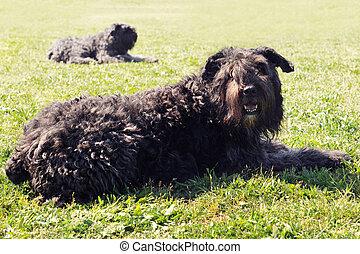 purebred bouvier des flandres in the grass