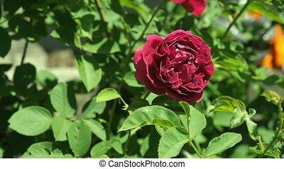 boven., garden., luchtschommel, selectief, roos, rosarium.,...