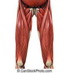 bovenleer, benen, spierballen, anatomie