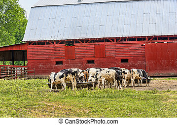Horizontal shot of a herd of cows in front of a red barn enjoying their breakfast.