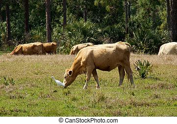 bovines in bonita springs