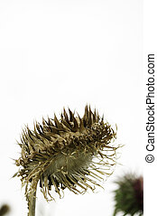 Bowed head of brown dried silybum marianum, milk thistle, flower with shny white filament of blown seed, known for herbal medicinal properties, isolated on white.