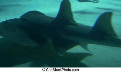 Bowmouth Guitarfish in Blue Sea