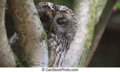 bown owl