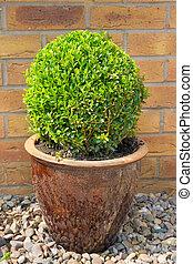 Box shrub in a clay pot clipped into a sphere