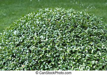 Box tree plant (Buxus sempervirens)