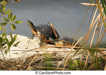 Box Turtles on a Rock