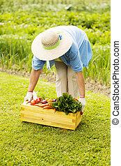 boxas, kvinna, grönsaken, uppe, frisk, plockning, senior, fyllt