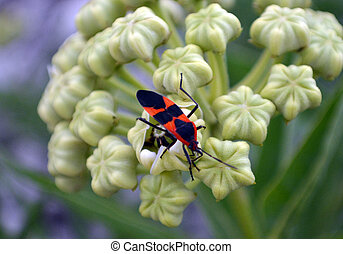 Boxelder Bug Square