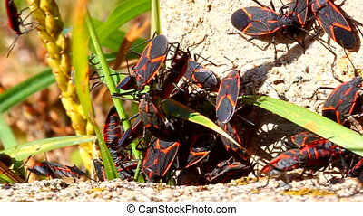 Boxelder Bugs (Boisea trivittata) at a forest preserve in...