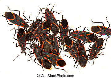 Boxelder Bugs (Boisea trivittata) in Illinois - Gathering of...