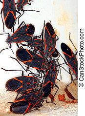 Boxelder Bugs (Boisea trivittata) in Illinois