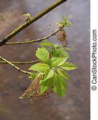 Boxelder with new leaves - Acer negundo (Boxelder) in spring...