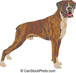 Boxer dog breed traced in detail