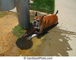 Boxer Dog Cooling Off - Boxer dog cooling off next to a...