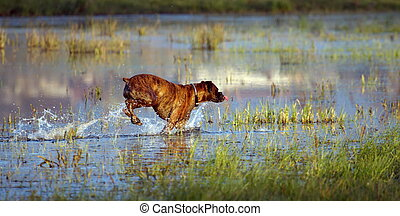 Boxer dog playing in the water