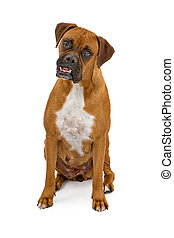 Boxer Dog with overbite - A boxer dog with an overbite...