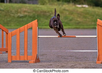 Boxer in agility action