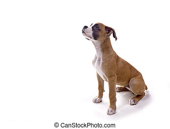 Boxer pup waiting for treat - 3 month old Boxer puppy in...