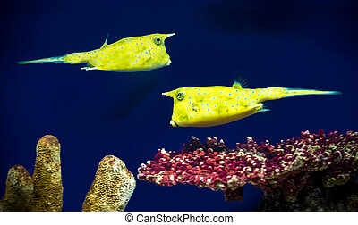 boxfishes, (ostracion)