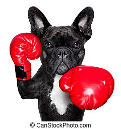 boxing dog  - french bulldog boxing dog with big red gloves