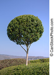 Beautiful boxwood in a landscaped garden