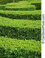 Boxwood hedge (Buxus sempervirens)