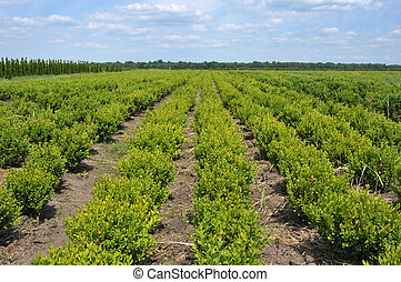 boxwood lined up at nursery