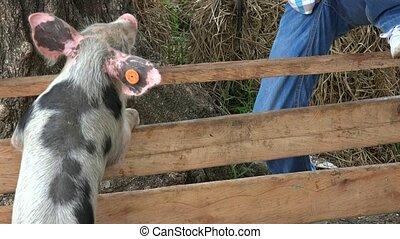 Boy At Pig Farm