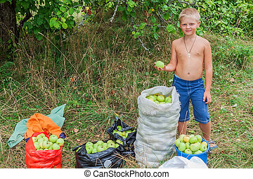 Boy during harvesting apples. In the garden.