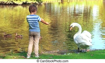 Boy feeding swans at the lake