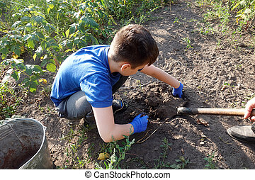 Boy harvests potatoes in his mini garden. Boy in blye gloves digging potatoes
