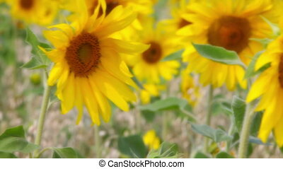 Boy in sunflowers
