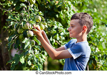 Boy picking apples