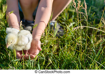 Boy Playing with Little Chick at the Green Grasses