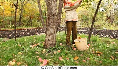 boy removing long pole apples from apple-tree