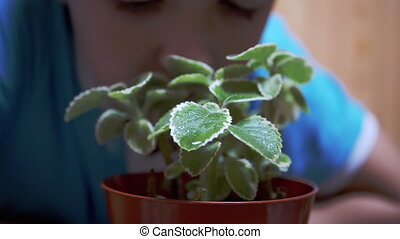Boy Sniffs a Watered Flower Mint in Pot. Child Approaching Face to Green Leaves